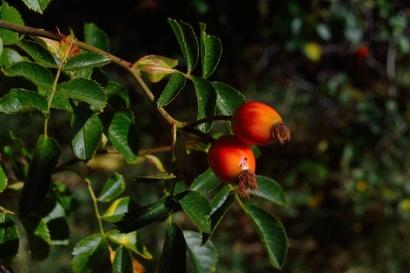 Kustovnice čínská alias goji – Jednoduché pěstování a pevné zdraví