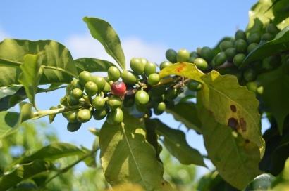 Green Coffee - Najlepší spaľovač tukov pre zdravé chudnutie