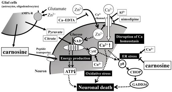 carnosine neurodegenerácia